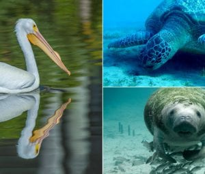 """A collection of three animal """"neighbors"""" of Orchid Island, a rare White Pelican, a sea turtle, and a manatee."""