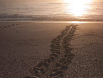 Turtle Tracks at Orchid Island Beach