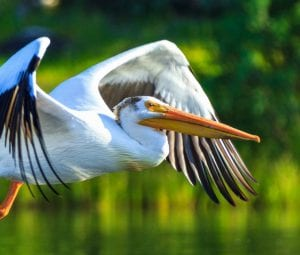 Orchid Island White Pelican flying over lake