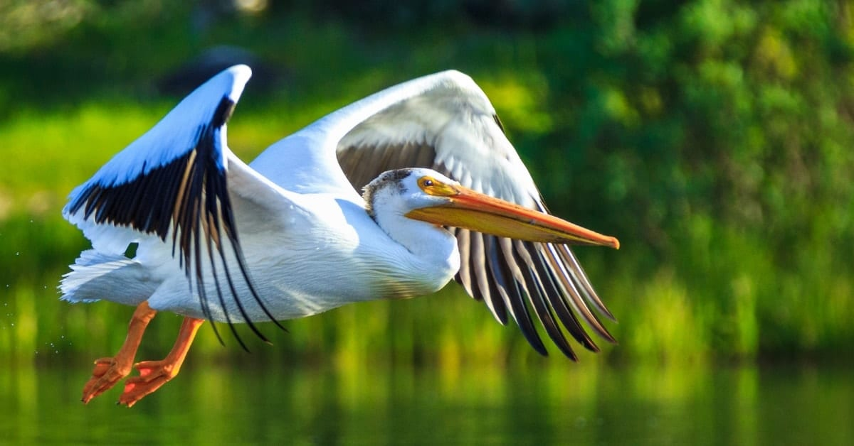 Orchid Island White Pelican