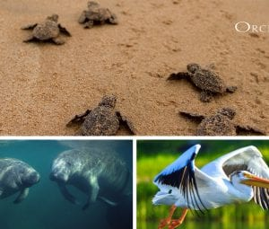 Sea Turtles, Manatees, and Pelicans live at orchid island florida on the treasure coast